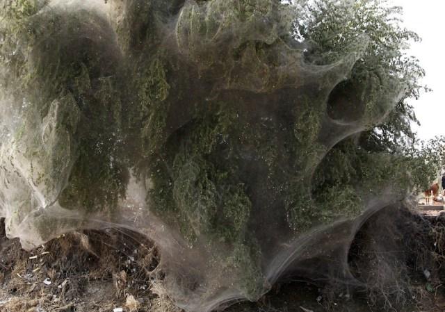 web09 Нашествие пауков на деревья в Пакистане