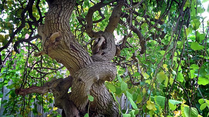 gnarly-tree700
