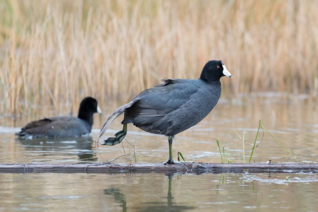 A coot shakes off pond water at Raymond County Park in Kachina Village, Arizona. This photo was taken with the Nikon D610 and 200-500mm f/5.6E at 500mm, f/5.6, ISO 1400, 1/100-second. It has been cropped and processed in Adobe Lightroom to taste. (Bill Ferris)