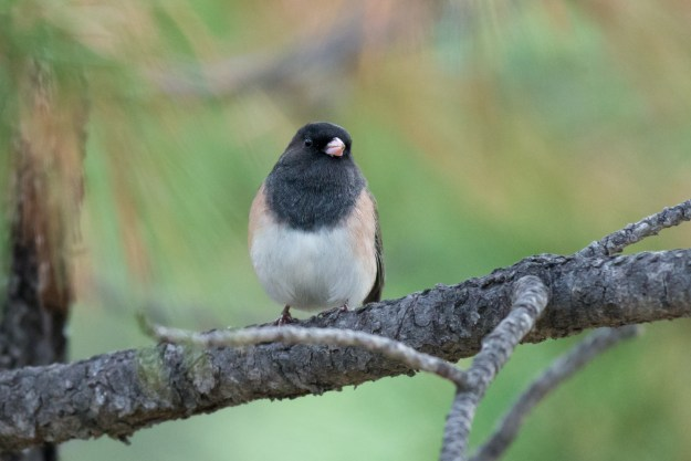 A dark-eyed junco in Raymond County Park in Kachina Village, Arizona. This photo was taken with a Nikon D610 and 200-500mm f/5.6E at 500mm, f/5.6, ISO 3600, 1/1000-second. It has been cropped and processed to taste in Adobe Lightroom. (Bill Ferris)