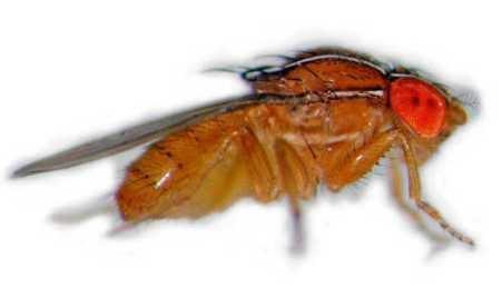 fruit-flies