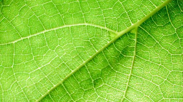 botânica: folha