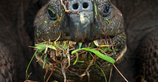 Yum. A male tortoise (C. porter) feeding on the probably introduced Paspalum conjugatum (Photo by Christian Ziegler).