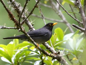 Turdus nigriceps, one of the main seed-dispersers in the Southern Yungas Andean forest. (Photo: Rodrigo Aráoz).