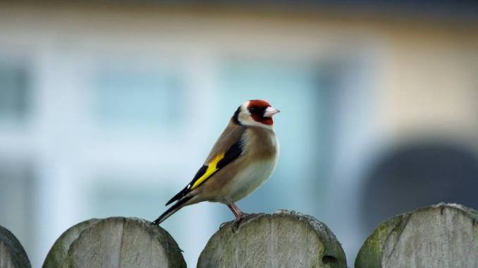 A goldfinch resting between trips to the bird feeder
