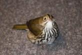 An Ovenbird found by a BirdSafe Pittsburgh volunteer.