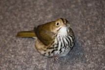 An Ovenbird found by a BirdSafe Pittsburgh volunteer.