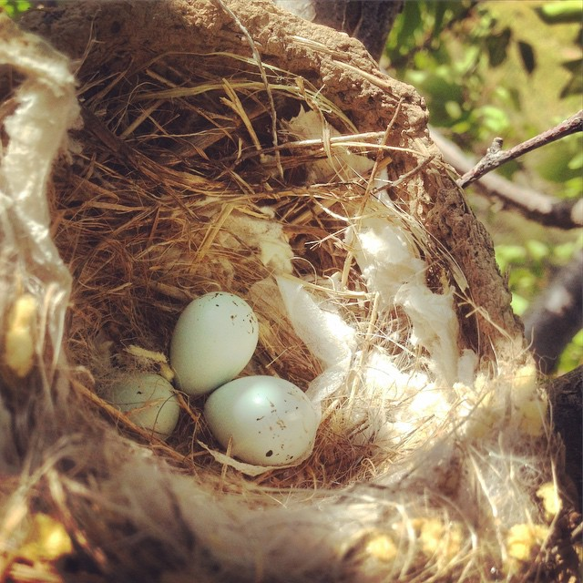 Found a nest in the orchard. Yesterday there were two…