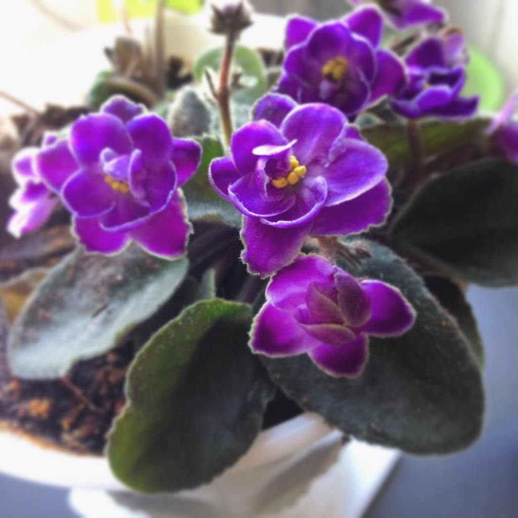 African violets are blooming! houseplant joy