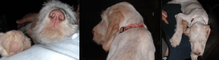 Spinone-Spinoni Larch at three months of age.