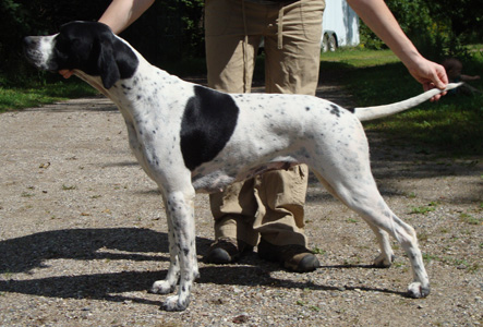 Olive - English Pointer at one year of age.