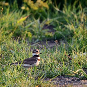 web-killdeer-solid-sound_0162