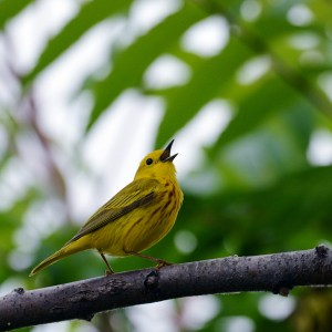 web-yellow-warbler-square