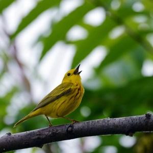 web-yellow-warbler-square