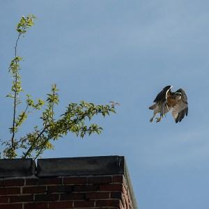 hawk-fledging_5925