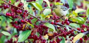 Blackpoll Warbler, Oct. 18, 2015