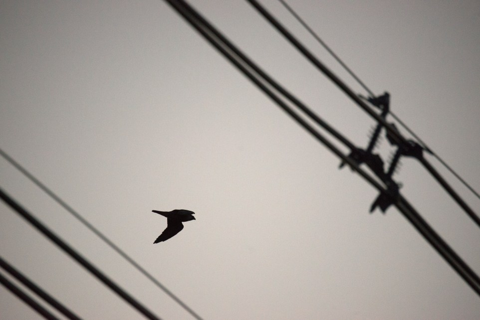 A Peregrine Falcon over Hadley Mill Road in Holyoke, Oct. 25, 2015.