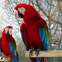 What do Parrots Eat - Where do Parrots Live