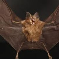 Vampire Bats Facts For Kids - Some Interesting Facts About Vampire Bats