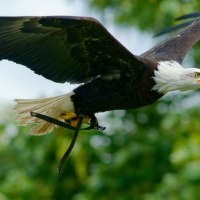 Types of Eagles - What Do Eagles Eat - Where do Eagles live