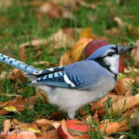 Blue Jay Facts - What Do Blue Jays Eat - Where Do Blue Jays Live