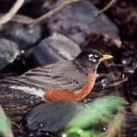 What Do Robins Eat - Robins Diet
