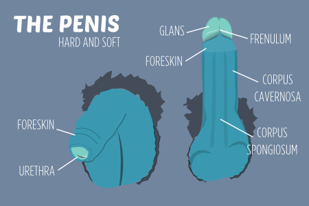 Sexual body parts THE PENIS HARD AND SOFT