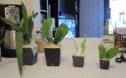 Encyclia cochleata, Phalaenopsis hieroglyphica, Huntleya heteroclita, Phalaenopsis violacea
