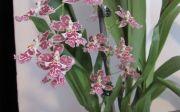 Oncidium in full bloom