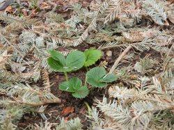 Small Of Pine Needle Mulch