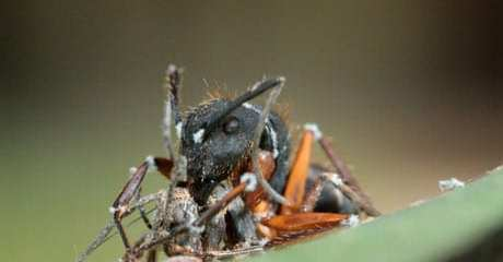 An infected ant bites the neck of an already dead ant (courtesy: The Guardian)