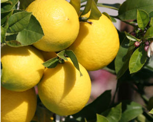Fresh lemons by Susan Filson of Sticky, Gooey, Creamy, Chewy–go visit her!