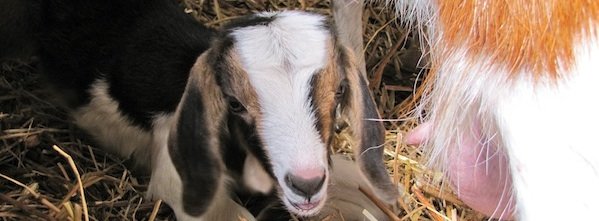 Gemma the baby goat ready for breakfast