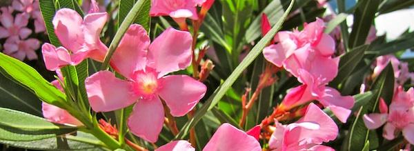 pink oleander / oleandro rosa