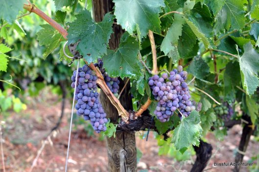 Italy Fiction - The Grape Harvest Part 7