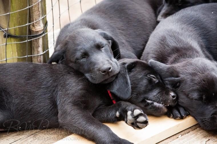 Webber-Dogs-6011