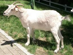 【朗報】ワイニート、働けと言う家族をヤギの真似で撃退wwwwwwwwwwwwww