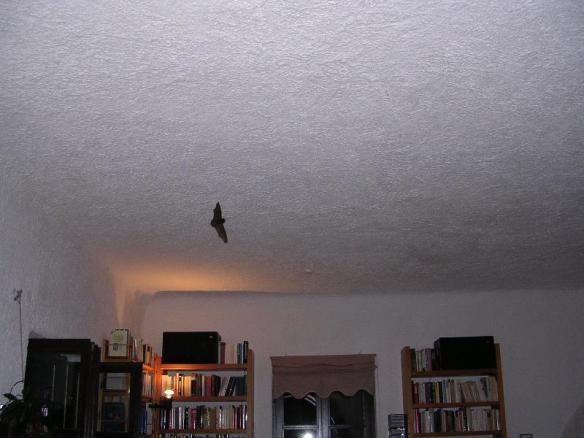 コウモリが部屋の中を飛び回り始めた。失禁しそうになった