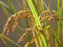 外国の米は不味いから食わない←外国から叩かれる