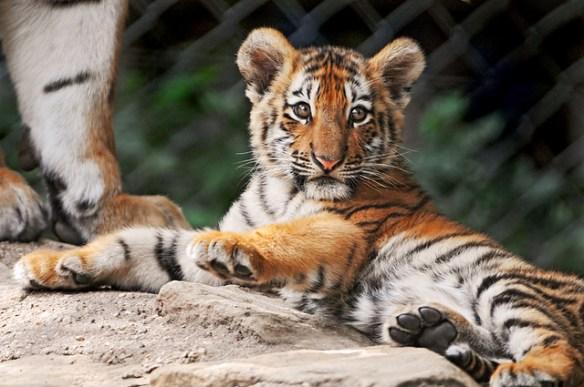 アムールトラの赤ちゃんスクスク 浜松市動物園 12月2日から一般公開、愛称も募集(*ΦωΦ)