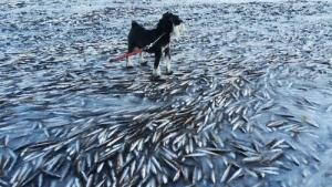 【衝撃画像】 なんとノルウェーで魚の群れが凍りつく なんだこの奇妙な画像・・・