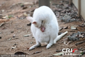 【閲覧注意】アルビノの白いカンガルーと、何故か袋から頭を出す小カンガルーが話題に!