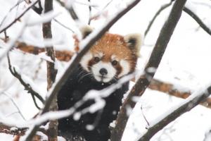 【萌え死に注意】 反則すぎる。レッサーパンダが雪で遊ぶ姿のかわいさよ。(画像+動画)
