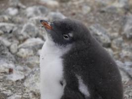 【画像あり】 南極にいるペンギンwwwwwwwwwwwww人懐っこすぎワロタwwwwwwwwww