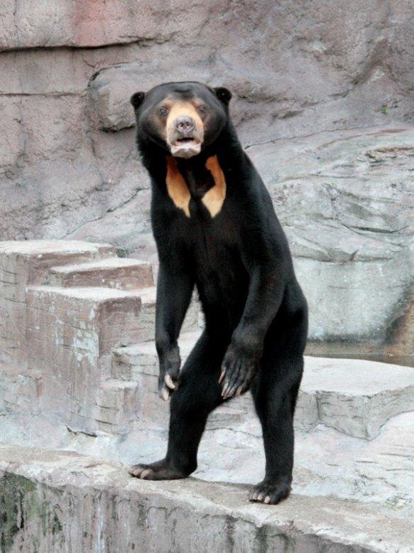 【閲覧注意】マレー熊のなんとも言えない怖さは異常wwwwwwwwww(画像あり)