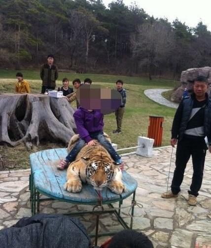 【画像】中国人のトラに対する扱いが酷すぎると話題に