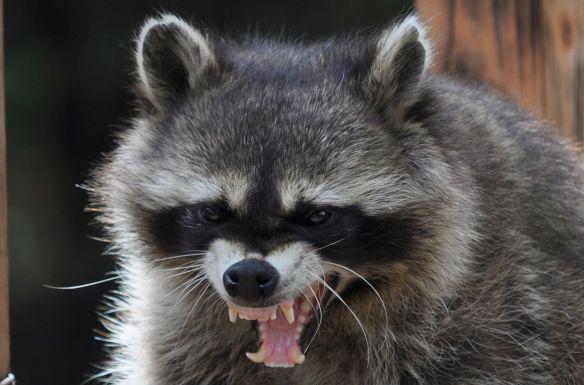 【画像】アライグマの怒った顔wwwwwwwwww