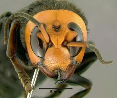 【画像あり】スズメバチのデザインの完成度は異常
