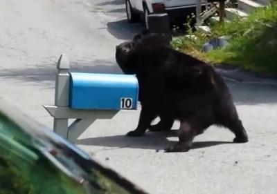 巨大な熊2頭、閑静な住宅街で激しく殴り合う (動画) … 米・ニュージャージー州