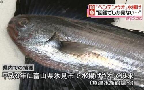 全国的にも非常に珍しい鳥のようなヒレを持つ魚「ベンテンウオ」が富山湾沖で水揚げされる (画像) … 帆を立てたような大きな背ビレと尻ビレ、魚津水族館で29・30日に一般公開